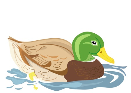Beautiful duck swimming in pond Vector