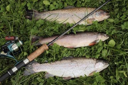 brook trout: Trout