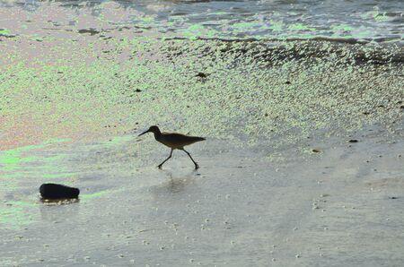 Short Billed Dowitcher on laguna beach Stockfoto