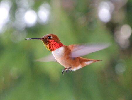 Rufous Humming Bird, Male in flight Stockfoto