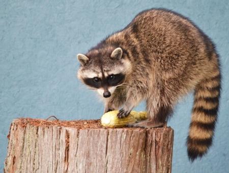 Female Raccoon eating corn cob