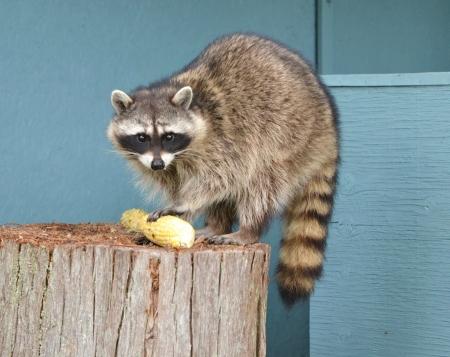 Female Raccoon holding corn cob