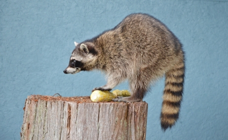 loveable: Female Raccoon, side profile standing on tree stump