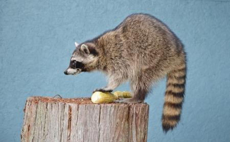 Female Raccoon, side profile standing on tree stump