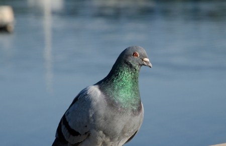 pigeon by ocean, deep colors close up Stockfoto