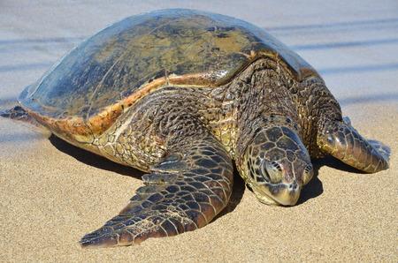 Giant Green Sea Turtle on beach Hawaii