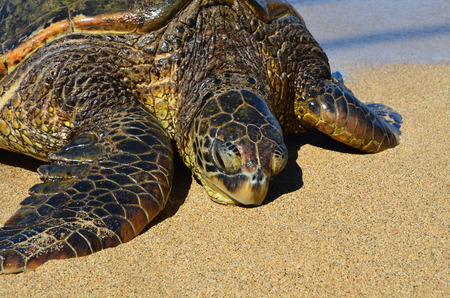 Giant Green Sea Turtle on beach close up