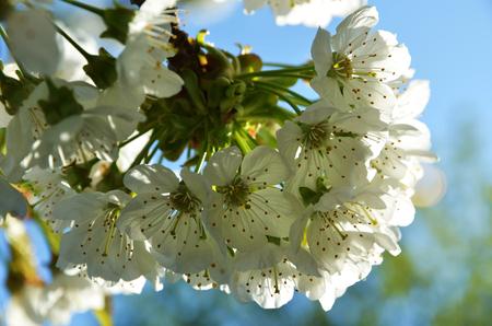 White Cherry Tree blossom against blue sky