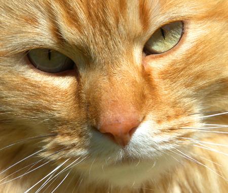 Ginger Cat, close-up - ras - Noorse boskat