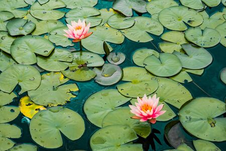 amazing pink lotus flowers and green and yellow lotus leaves on the lake , teal film effect Banque d'images - 132090283