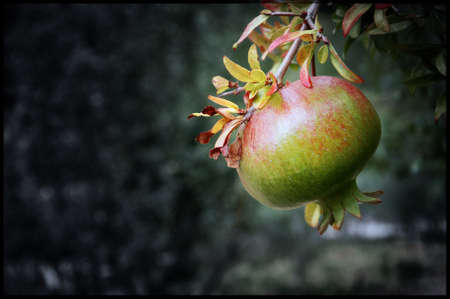 a pomegranate not yet ripe but on which traces of the final color begin to show