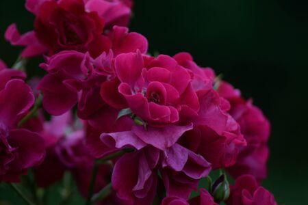 colore: budded rose bush Stock Photo