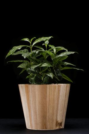planta de cafe: Antecedentes de la planta de caf� en el recipiente de madera natural de Arabia Foto de archivo