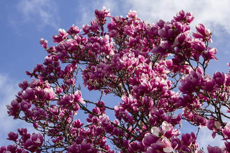 Background tree plant bloomed pink magnolia
