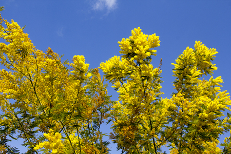 Flowery yellow background tree of mimosa
