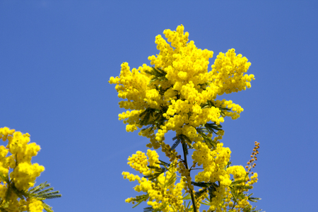 flowery: Tree background flowery yellow mimosa
