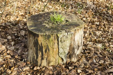 tree stump: Grass is growing from a dead tree stump. Stock Photo