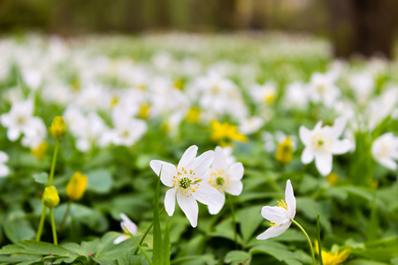 to thrive: Wood anemones on a forest floor in springtime. Stock Photo
