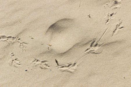 vogelspuren: Footprints eines Vogels im Sand am Strand.