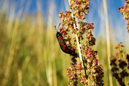 zygaena: Mating Six-spot burnets found in a meadow.