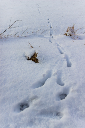 Footprints from an animals paws in snow Reklamní fotografie