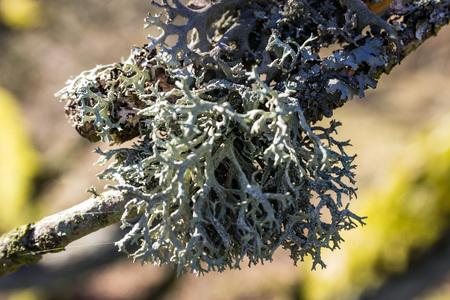 Lichen growing on a twig in spring