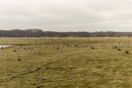Migrating cranes resting and eating on a field