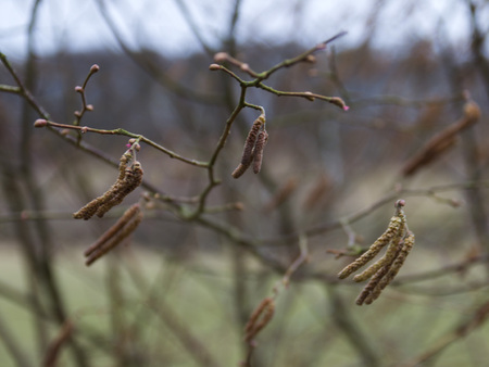 Hazel catkins blowing in the wind early spring