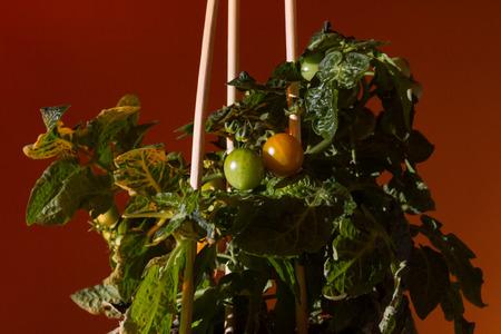 Home grown tomato plant on orange background