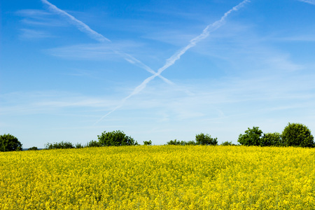 Rapeseed field and contrails in the sky
