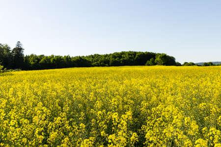 Rapeseed field and tree line on a sunny day Reklamní fotografie