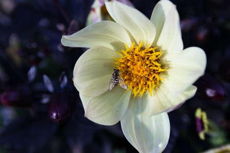 A hoverfly sitting on a Dahlia flower Reklamní fotografie