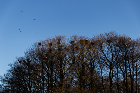 Trees with many magpie nests and birds flying