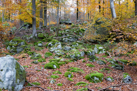 Yellow leaves and moss on stones in november