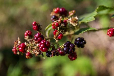 Red and black blackberries hanging on a branch Reklamní fotografie