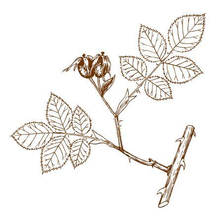 Rosa andegavensis