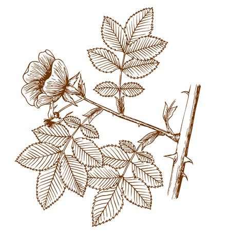 Rosa canina Illustration