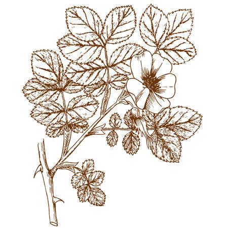 Rosa coripubifera