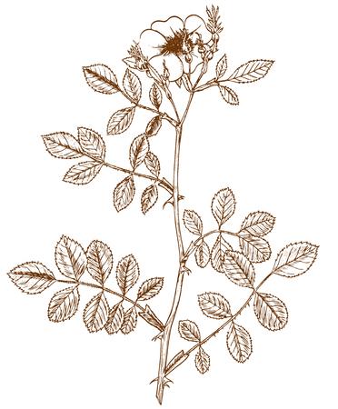 Rosa inodora Illustration