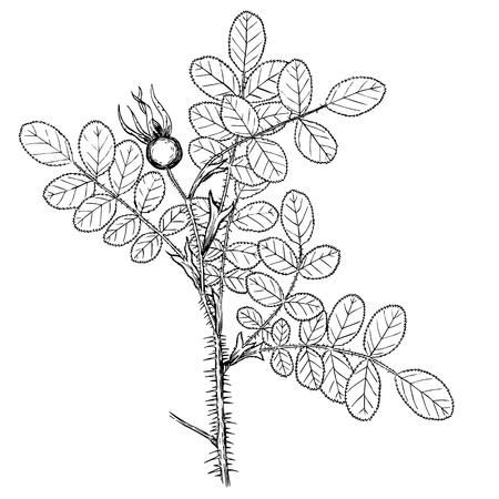 rosa pimpinelifolia Illustration