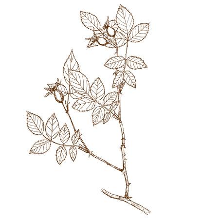 Rosa subafzeliana Illustration