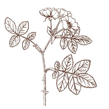 tomentosa: Rosa tomentosa