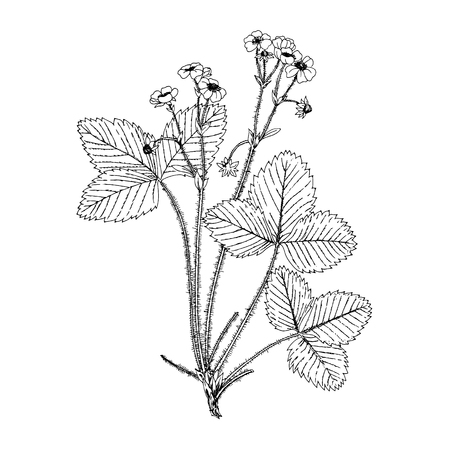 fragaria: Fragaria moschata old gravure illustration