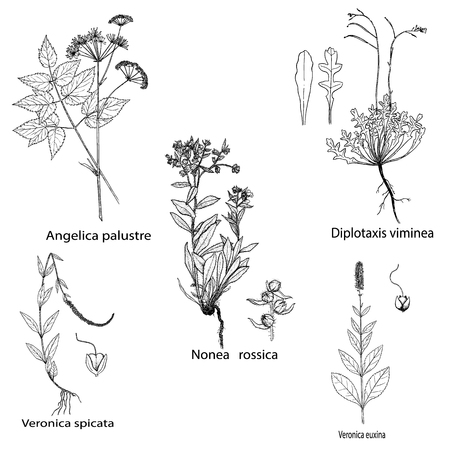 Herbs and spices set. Hand drawn nonea rossica,veronica,diplotaxis and angelica palustre plants. Engraving botanical illustrations for tags. Vector healing wild flowers sketches