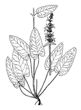 lamiales: Stachys officinalis boatanical illustration Illustration