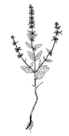 Stachys annua illustration
