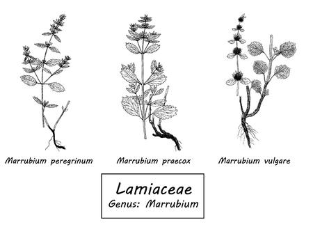 set of botanical illustration Stock Photo