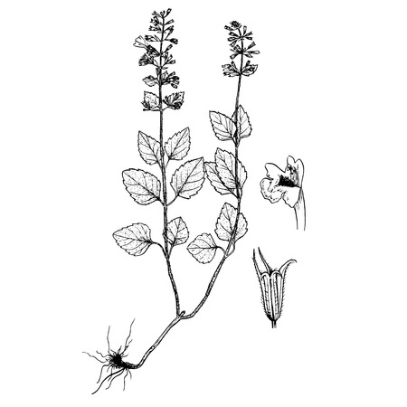 Calamintha menthifolia vector isolated image vintage