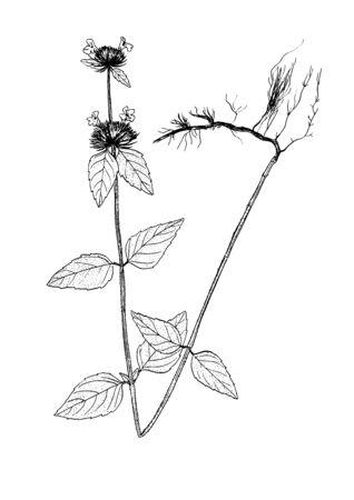 clinopodium vulgare sketch Ilustração