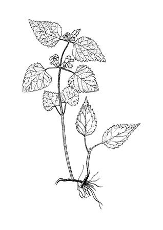 galeobdolon luteum botanical sketch Illustration
